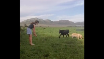 Calf Comes Running To Meet Girl Whenever She Calls His Name