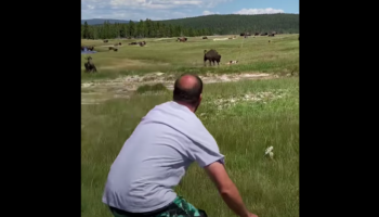 Woman Trips While Running Away From Bison, Survives By 'Playing Dead'