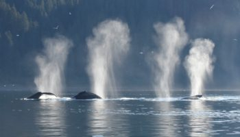 Whales Get A Break As Pandemic Creates Quieter Oceans