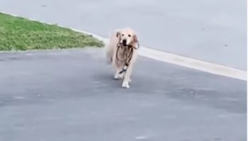 Dog Gets Sick Of Waiting For Her Owners, Takes Herself Out For A Walk