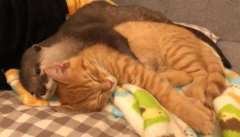 This Otter Likes To Spoon His Kitten Friend When He Goes To Sleep