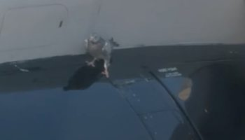 Pigeon Perched On Plane Wing Holds On For Dear Life As It Takes Off