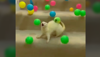 Please Enjoy This Video Of A Ferret Being Surprised By An Avalanche Of Balls Going Down The Stairs