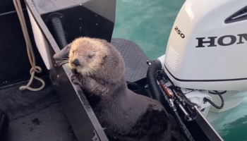 Otter Jumps Onto Boat, Escapes From Killer Whale In The Nick Of Time