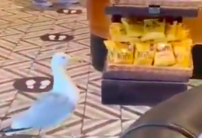 This Seagull Is A Master At Sneaky Shoplifting