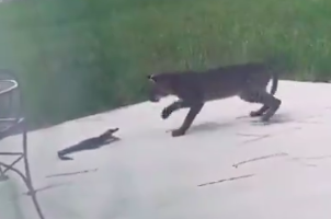 Baby Gator Fights With Bobcat, Things Don't End Well For Baby Gator
