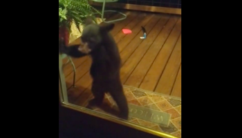 Bear Cub Wants To Come Indoors To Play, Gets In Trouble With Mama Bear