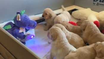 Watch These Golden Retriever Puppies Be Transfixed By A Talking Stuffed Dragon Telling A Story