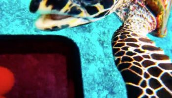 Extremely Curious Sea Turtle Tries To Steal Diver's Camera
