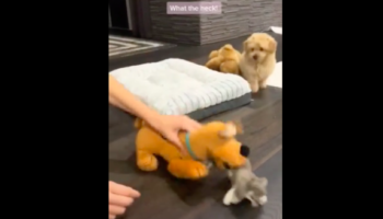 This Puppy Does Not Like It When His Owner Messes With His Toys
