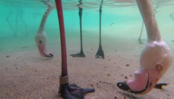 Here's The Fascinating Way That Flamingos Eat With Their Heads Upside Down While Underwater