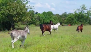 Watch A Calf Hilariously Try Her Best To Keep Up With Her Horse Buddies