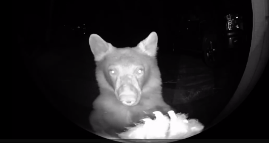 Bear Visits A House Late At Night, Goes Straight Over To Ring The Doorbell