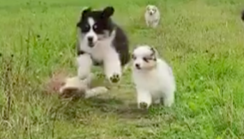 Watch This Poor Puppy Get Completely Knocked Over By Its Over-Enthusiastic Buddies