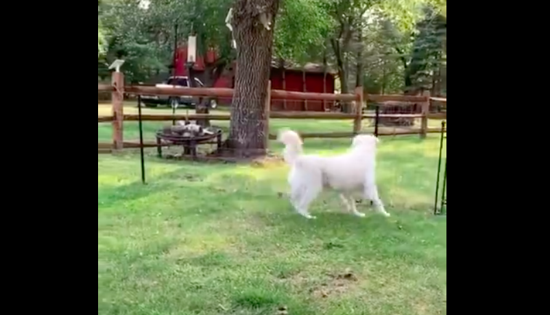 Squirrel Gets Chased By Two Dogs, Does The Most Nimble Escape We've Ever Seen