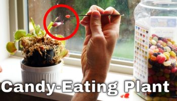 What Happens When You Feed A Venus Flytrap Jelly Beans?