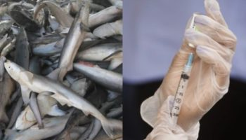 Half A Million Sharks Could Be Killed To Make A Global COVID Vaccine