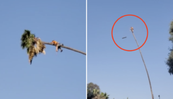 Guy Tries To Trim A 100-Foot Palm Tree, Is Taken On A Wild Ride