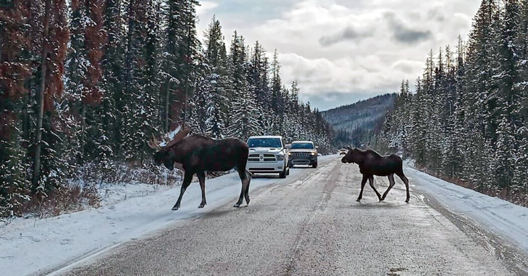 Why Were Canadians Warned Not To Let Moose Lick Their Cars?
