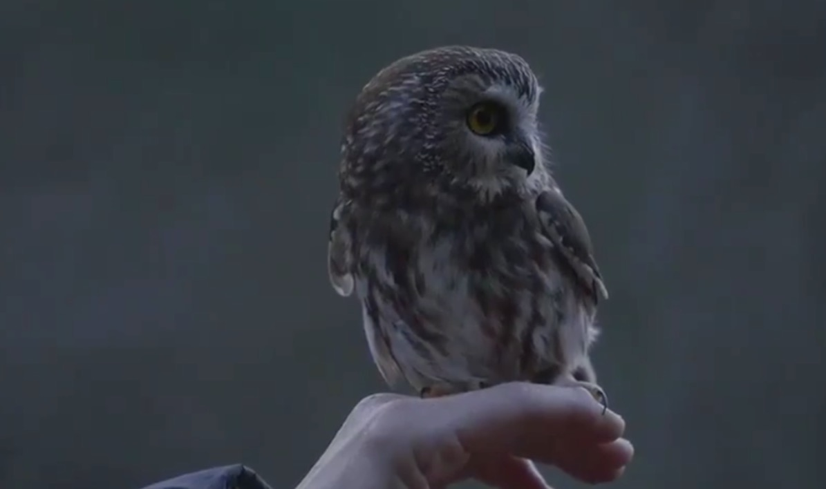Watch The Owl That Got Stuck In The Rockefeller Center Christmas Tree Get Released Back Into The Wild - Digg