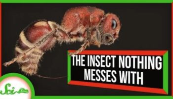 Here's Why Nobody In The Animal Kingdom Messes With A Velvet Ant