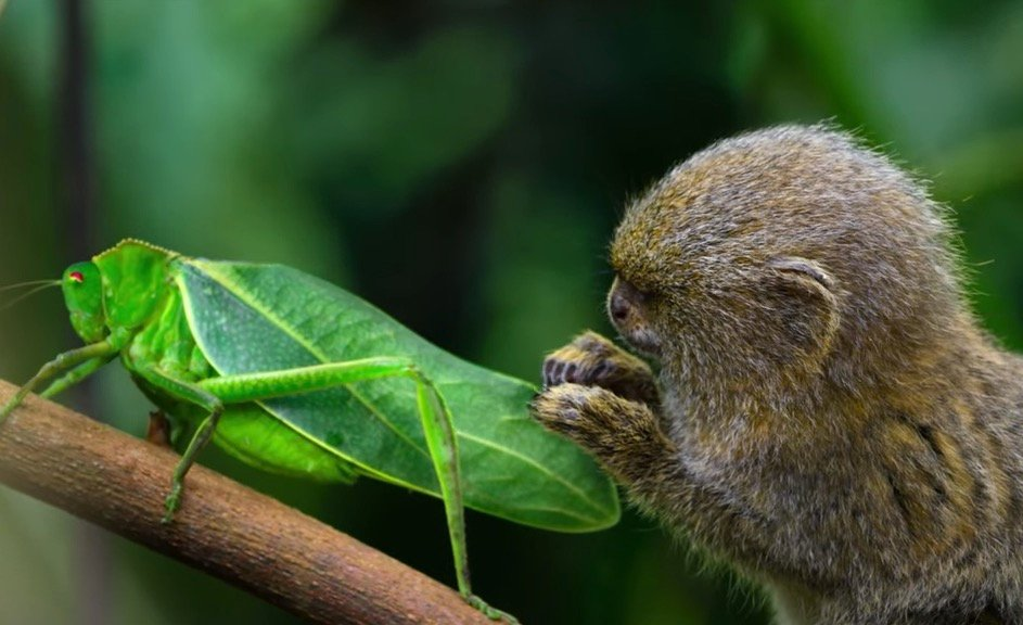 Watch This Pygmy Marmoset Become Completely Fascinated By This Insect That Looks Like A Walking Leaf