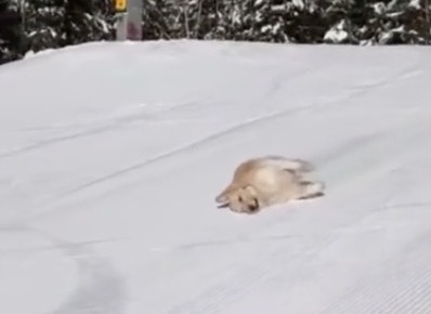 Somebody Inserted Fleetwood Mac's 'Dreams' Into This Video Of A Golden Retriever Sliding Down A Ski Slope And It's The Best Christmas Present Ever - Digg