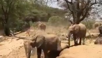 Elephants Can't Jump, So This Is How They Navigate The Terrain