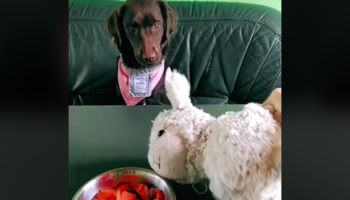 Dog Has Funny Reaction To His Toy Being 'Poisoned' By Food