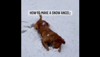 Angel Of A Dog Has A Blast Making Snow Angels