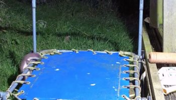 Stoat Discovers Trampoline, Proceeds To Have The Time Of His Life