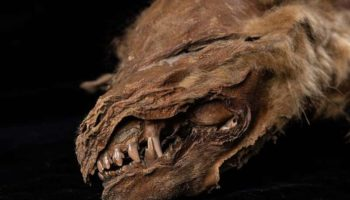 57,000-Year-Old Mummified Wolf Pup Discovered In Canadian Permafrost