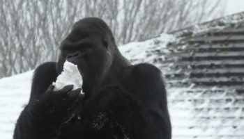Gorilla In Zoo Has Delightful Reaction To Heavy Snow