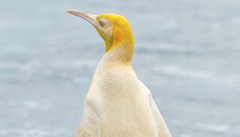 Rare Yellow Penguin Bewilders Scientists