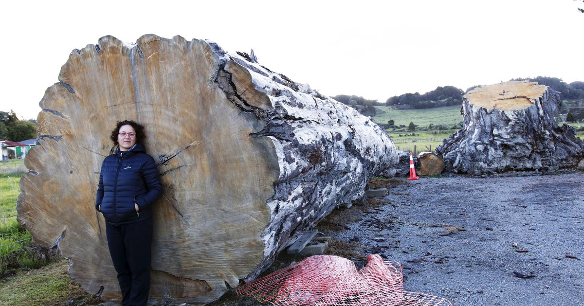 What A 1,600-Year-Old New Zealand Tree Can Tell Us About Climate Change