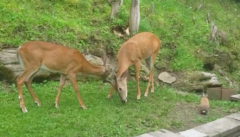 This Video Of A Chipmunk, A Rabbit And Two Deer Snacking Together Feels Like 'Bambi' Come To Life