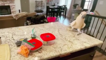 Cockatoo Has Overjoyed Reaction To Realizing It's Lunch Hour Time