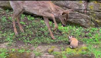 This Video Of A Fawn Learning To Be Gentle With A Rabbit Feels Like Something Out Of 'Bambi'