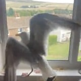 Seagull Gets Stuck Inside This Lady's Kitchen And Keeps Trying To Go Out A Closed Window