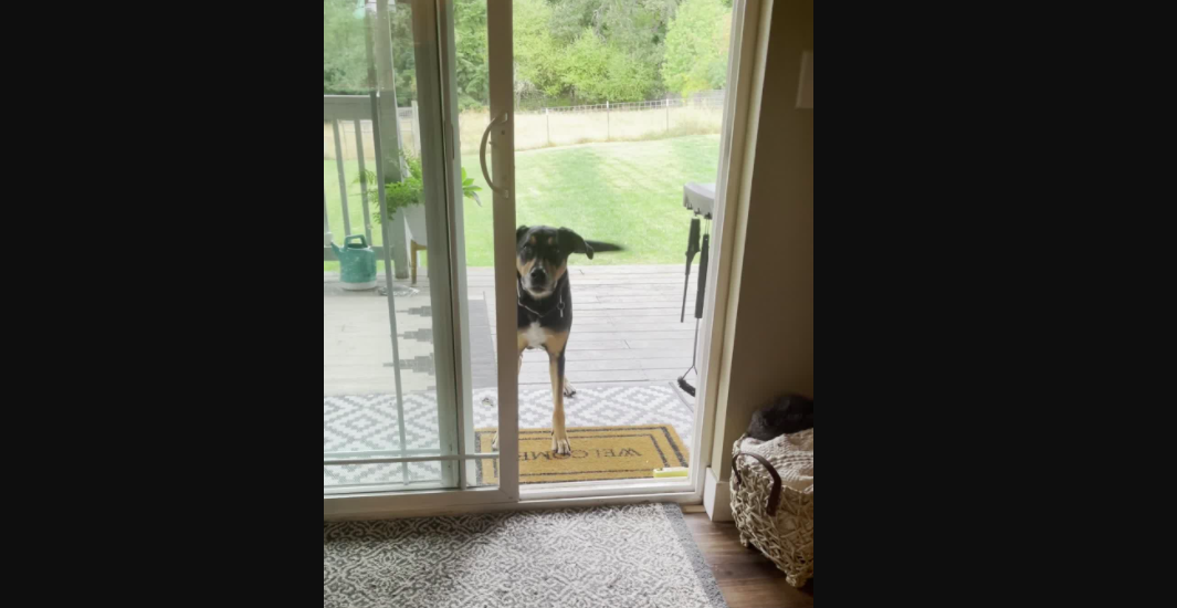 Dog Who Has Been Hurt By Screen Door Before Now Is Confused By The Concept Of An Open Door